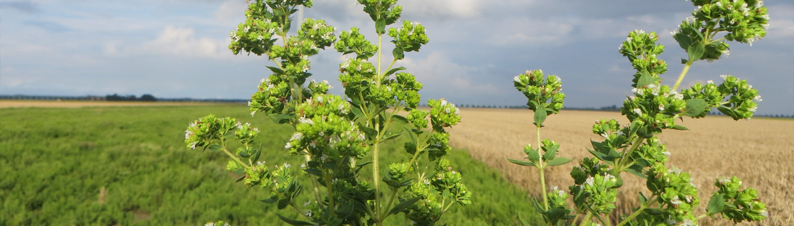 Scott's Chicken Blog on Oregano in our Feed